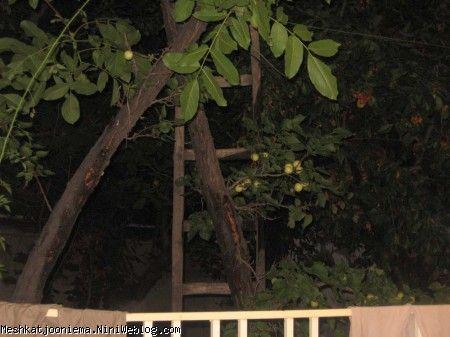 درخت زردآلو در دماوند